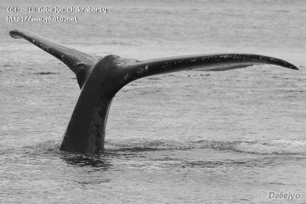 feet wide tail of a humpback whale chakraborty debejyo