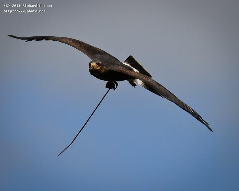 gwp edit female snail kite watson richard