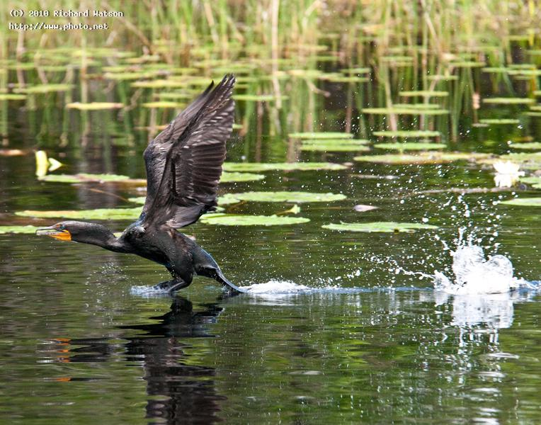 gwps cormorant take off seeking critique watson richard