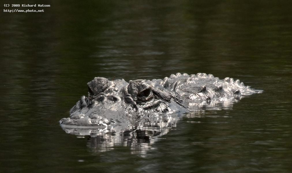 igp alligator wildlife nature seeking critique watson richard