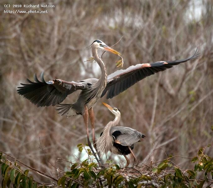 wakodahatchee gbh pair on nest seeking critique watson richard
