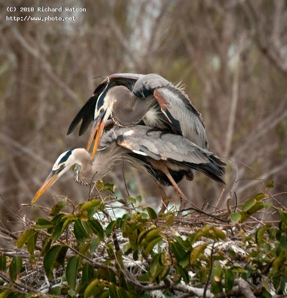 wakodahatchee gbh pair on nest watson richard