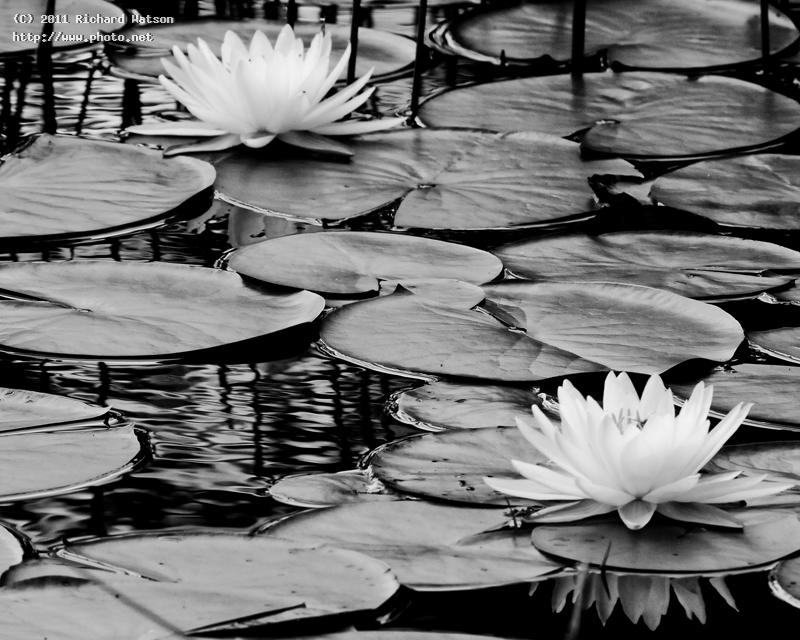 water lillies bw hi contrast seeking critique watson richard