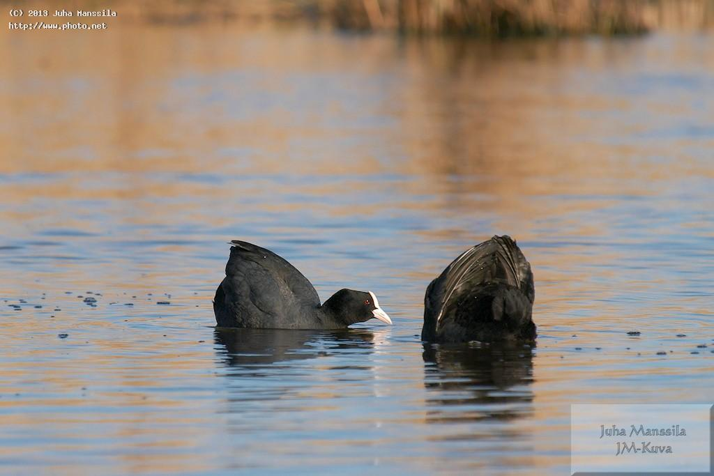 a bird birds nature wild manssila juha