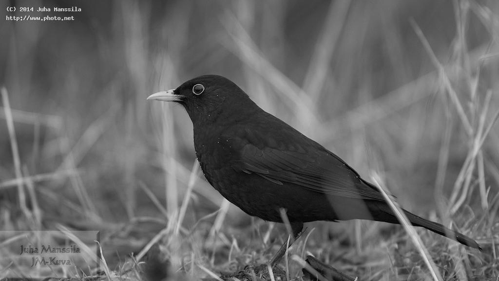 a bw birds nature bird manssila juha