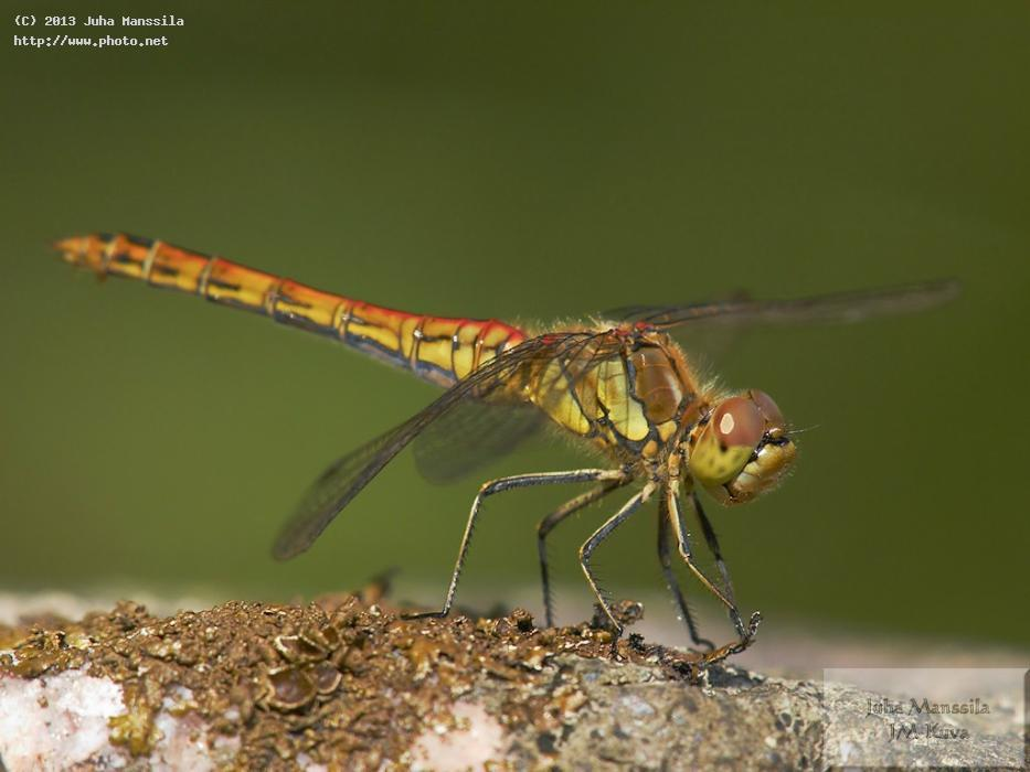 a dragonfly insects nature insect seeking critique manssila juha