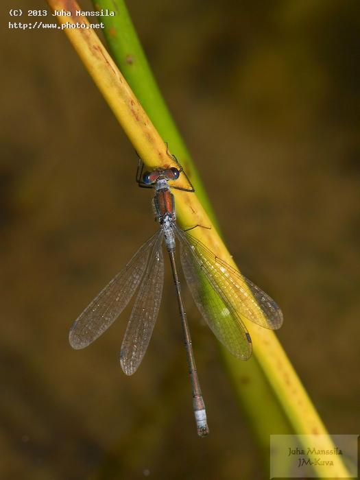 a insects damselfly insect nature seeking critique manssila juha