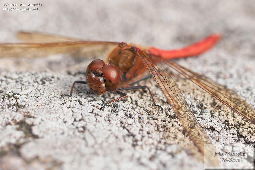 a insects dragonfly nature insect manssila juha