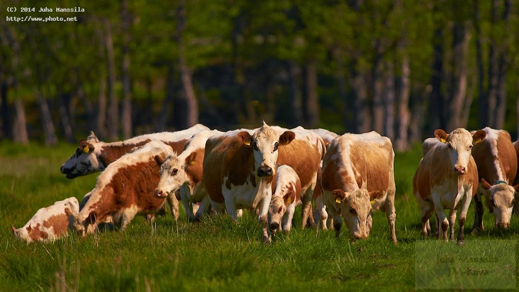 a nature animals agriculture cattle farming domestic manssila juha