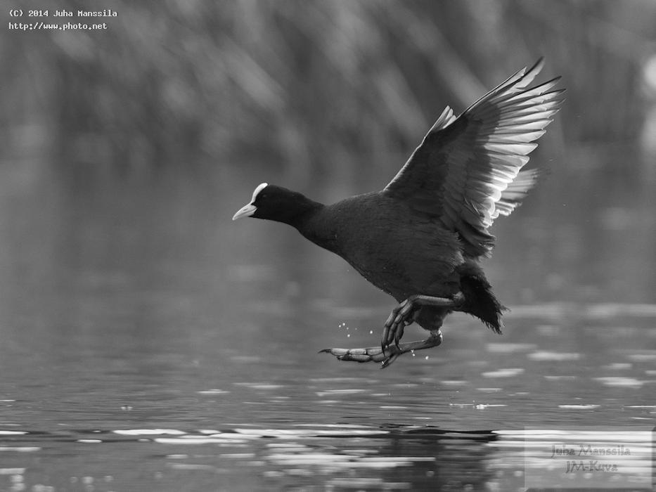 a nature bird bw wild birds manssila juha