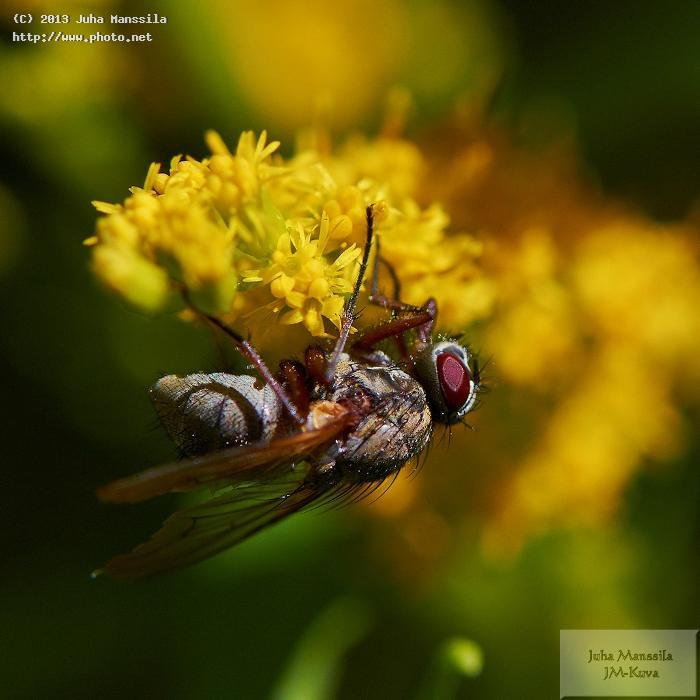 a nature closeup insects insect macro manssila juha