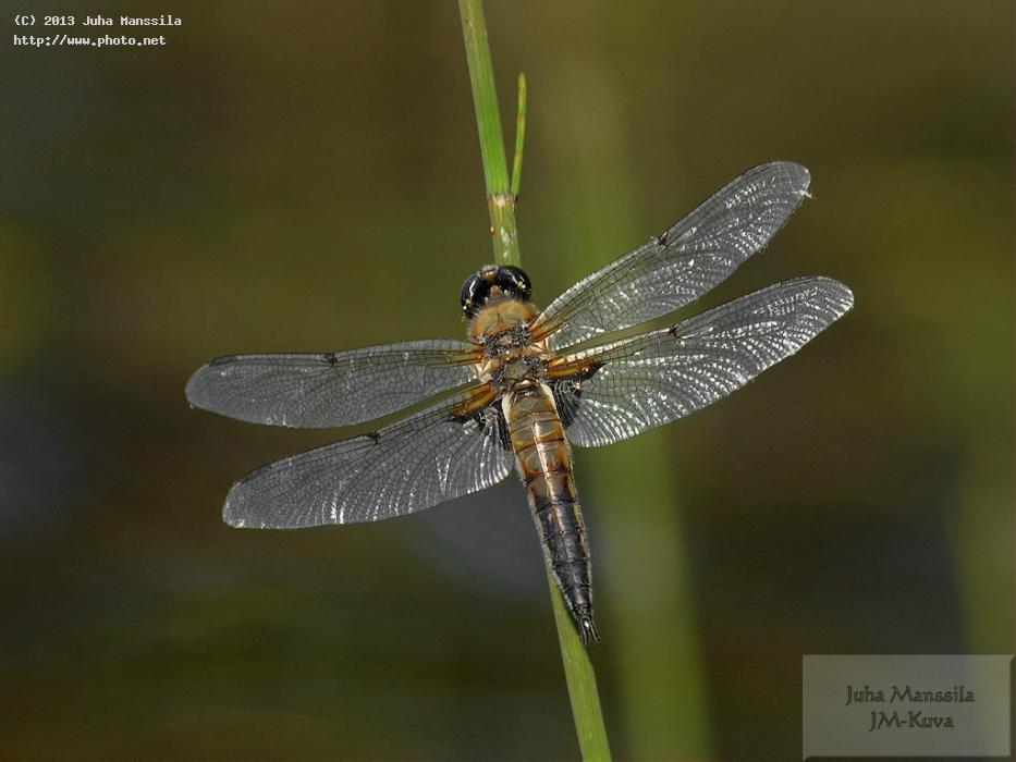 a nature insects dragonfly insect manssila juha