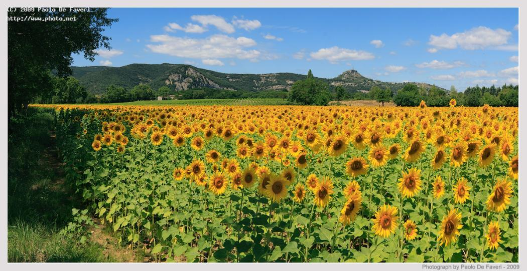 a yellow ocean pano panorama rhone alps sunflowers morning de faveri paolo