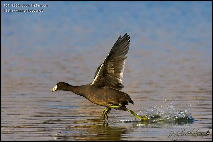 american coot seeking critique melanson jody