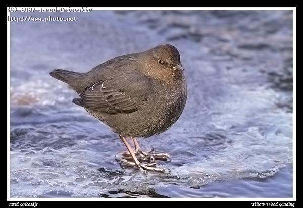 american dipper gricoskie jared