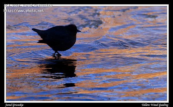 american dipper shadow gricoskie jared