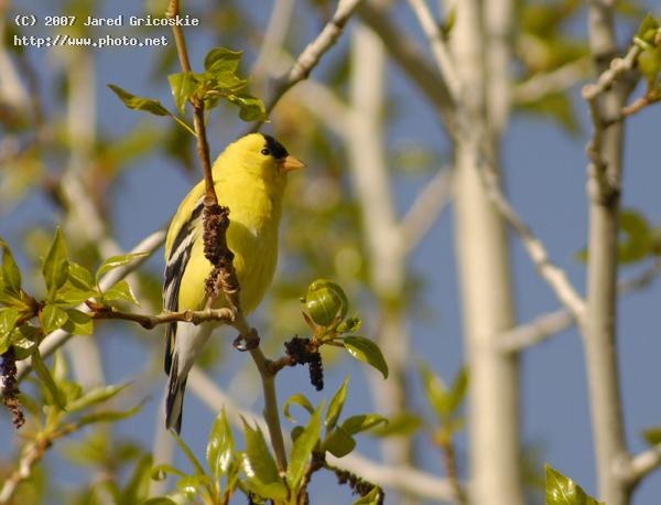 american goldfinch gricoskie jared
