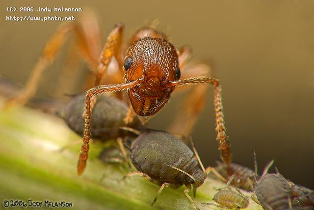 ant with aphids seeking critique melanson jody