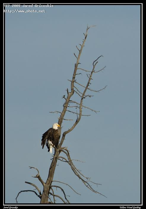 bald eagle over the madison grand teton national park nikon gricoskie jared