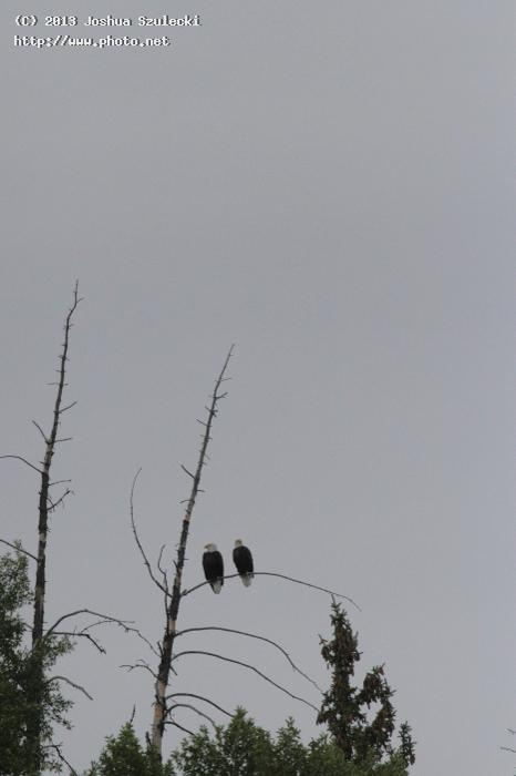 bald eagles grand tetons national park szulecki joshua