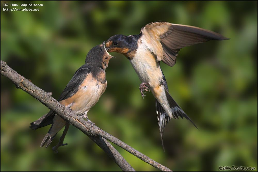 barn swallow feeding seeking critique melanson jody