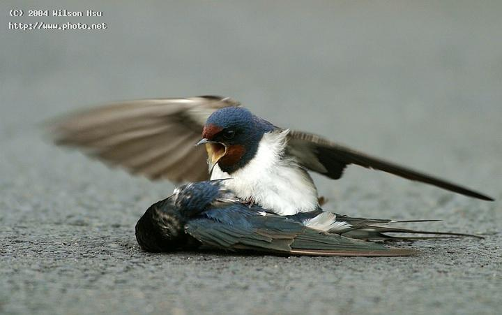 barn swallows seeking critique hsu wilson