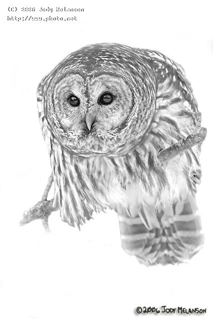 barred owl seeking critique melanson jody