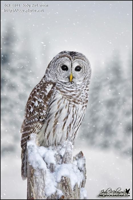 barred owl snow seeking critique melanson jody
