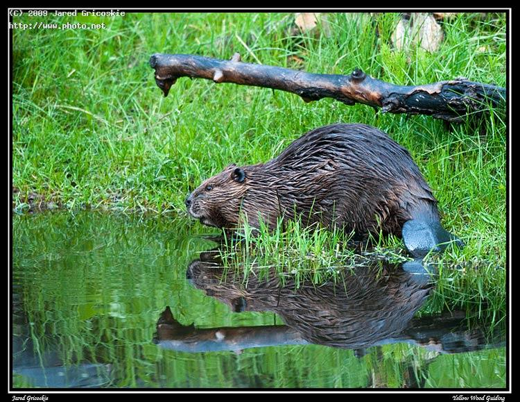 beaver out of water american tail reflection gricoskie jared