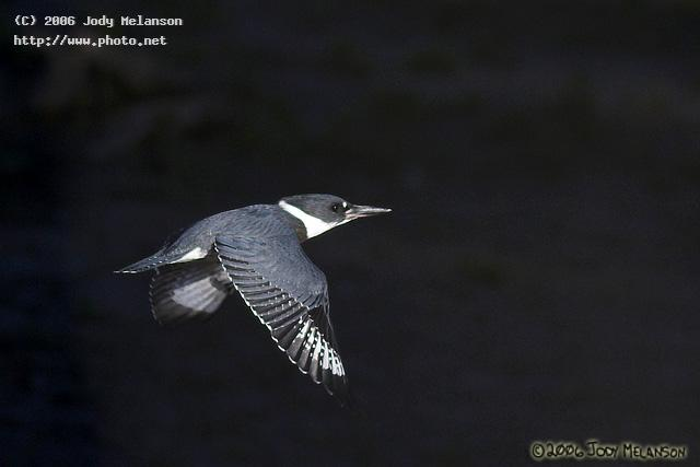 belted kingfisher in morning light seeking critique melanson jody