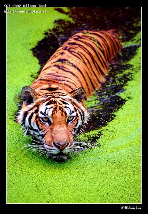 big cat floating samutprakarn tsoi wilson