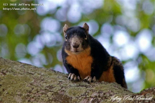 big cypress fox squirrel wildlife bennett jeffery