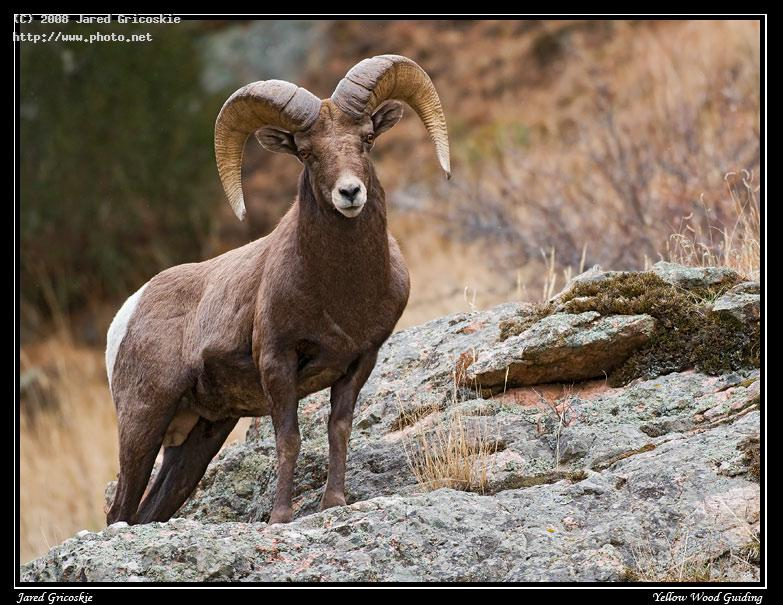 big horn ram on a rock nikon mm fd ed if af s ii nikkor d rocky roc gricoskie jared