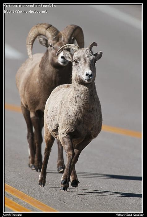 big horn sheep love on the run gricoskie jared