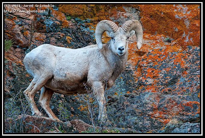 bighorn ram lichen background gricoskie jared