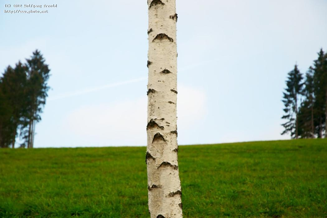 birch and gap fir grass trunk tree bark seeking critiq arnold wolfgang