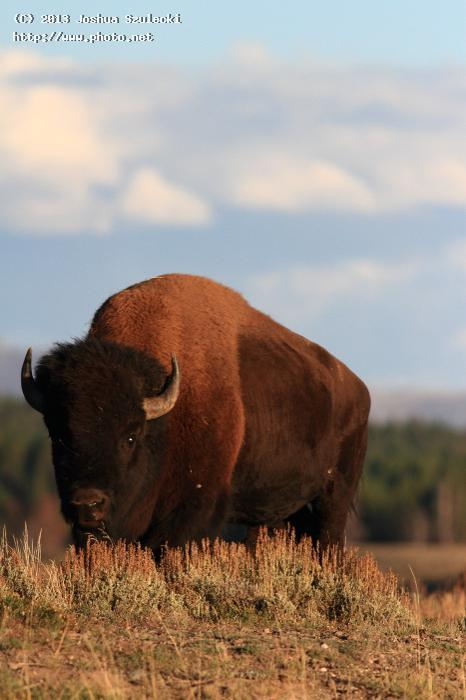 bison hayden valley yellowstone national park szulecki joshua