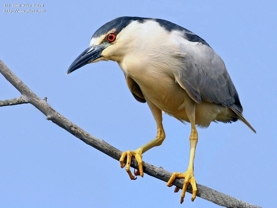 black crowned night heron in morro bay ca july no seeking critique baird mike