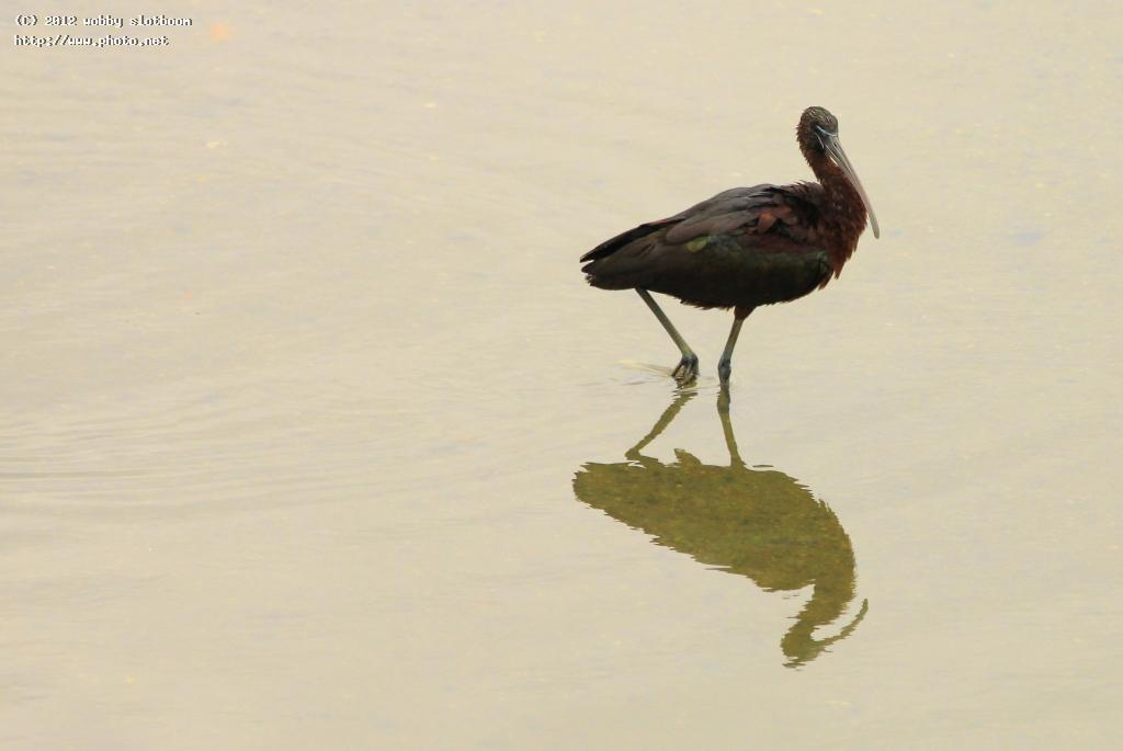 black ibis seeking critique slotboom wobby