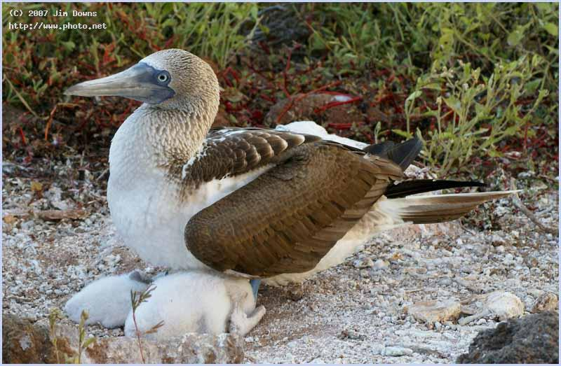 blue footed boobie nurturing her twins seeking critique downs jim