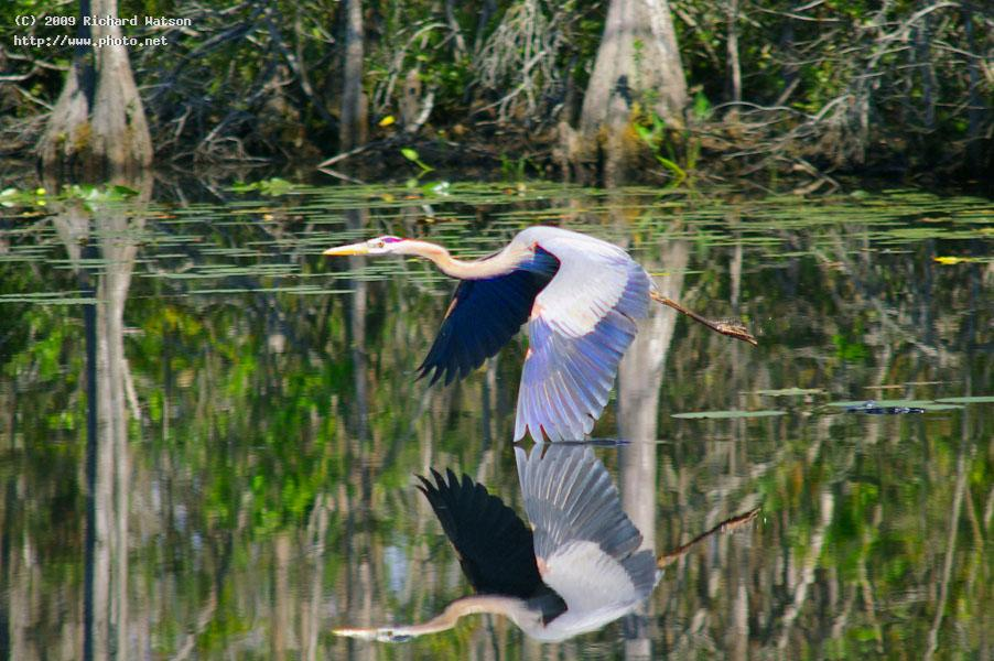 blue heron wing in water west palm beach watson richard