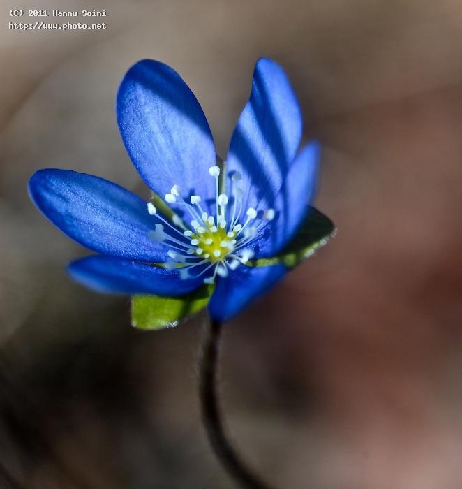 bluebell anemone hepatica flower spring seeking critique soini hannu