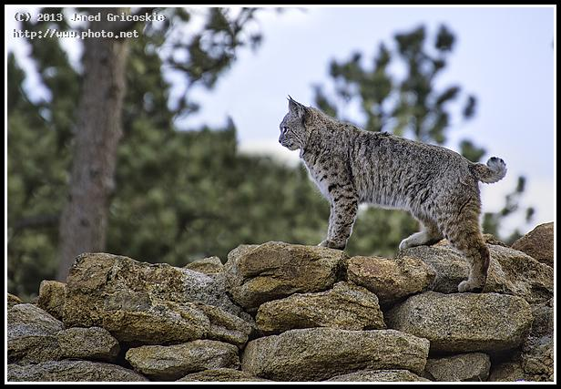 bobcat on the rocks gricoskie jared