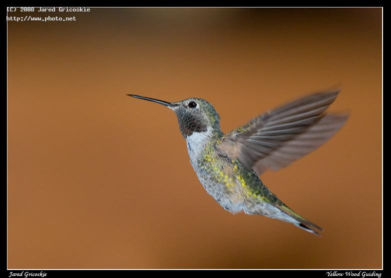 broad tailed hummingbird male in flight rocky mountai gricoskie jared