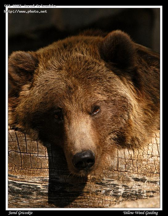 brown bear gricoskie jared