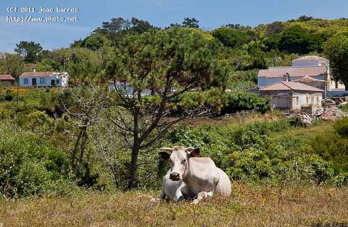 bucolic view cow country barros joao