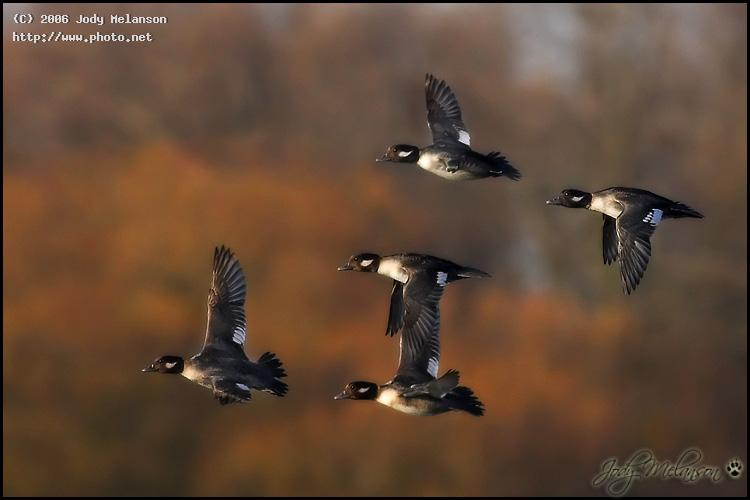 buffleheads seeking critique melanson jody