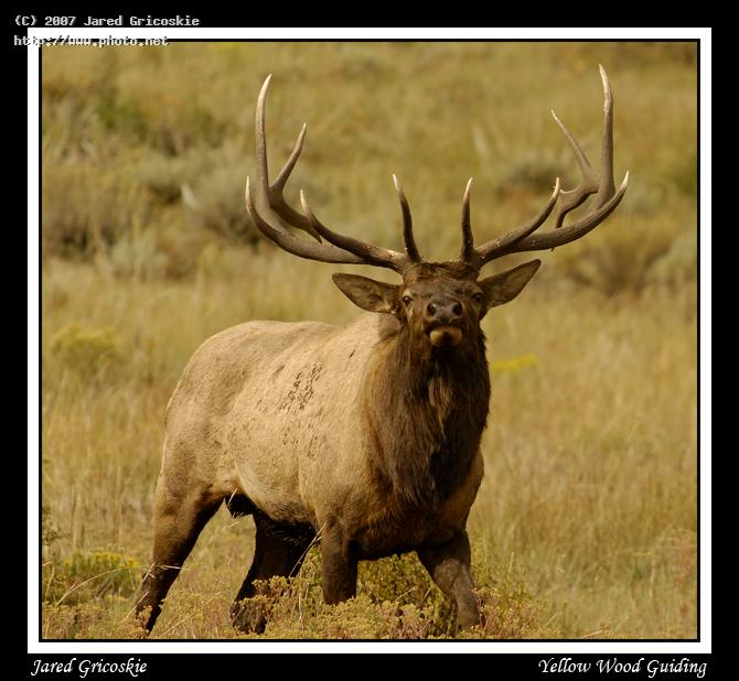 bull elk x head on gricoskie jared