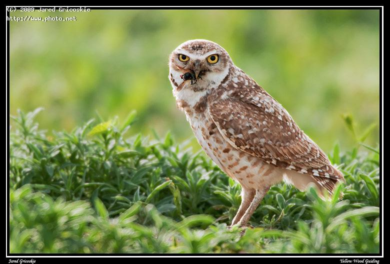 burrowing owl with food for the chicks gricoskie jared