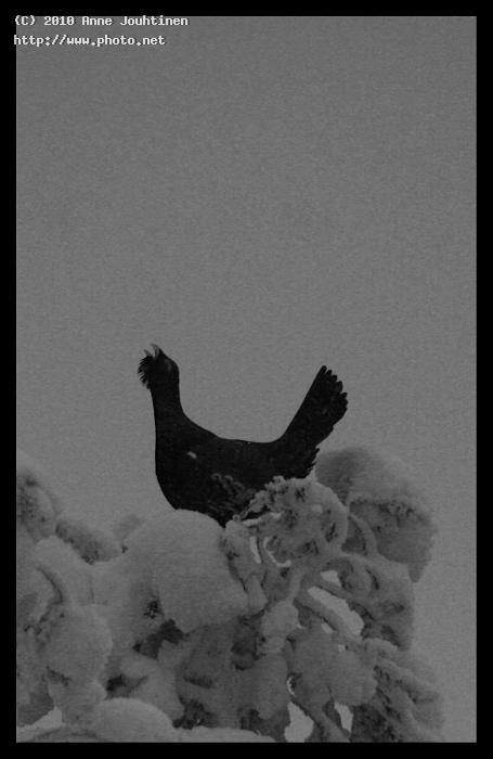 capercaillie seeking critique jouhtinen anne